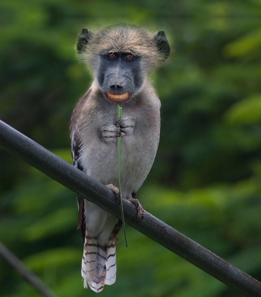 Affenvogel