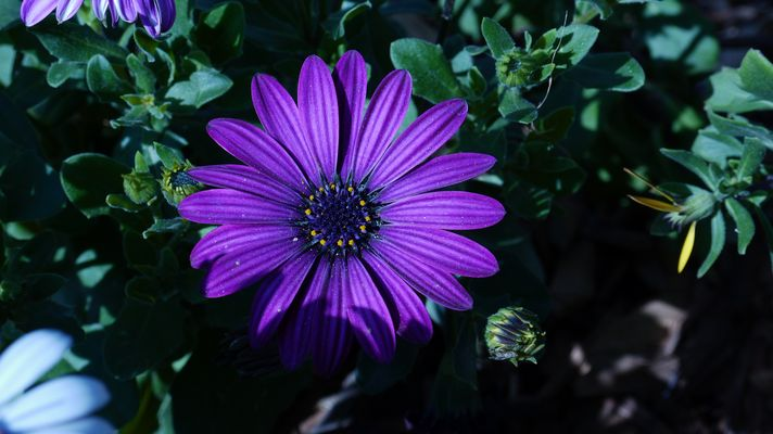 African Daisy from Floriade