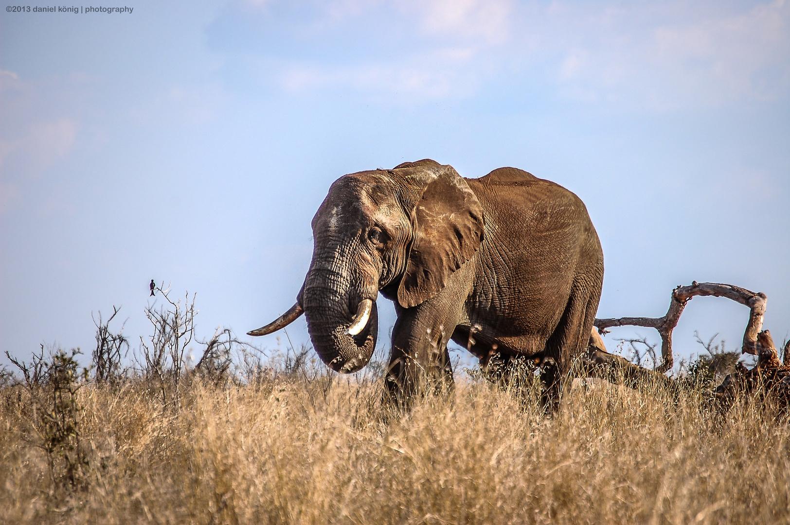 African Elephant - Kürger National Park