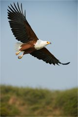 African Fish Eagle soaring high