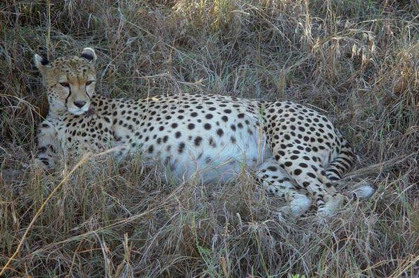 African Heritage - Gepard