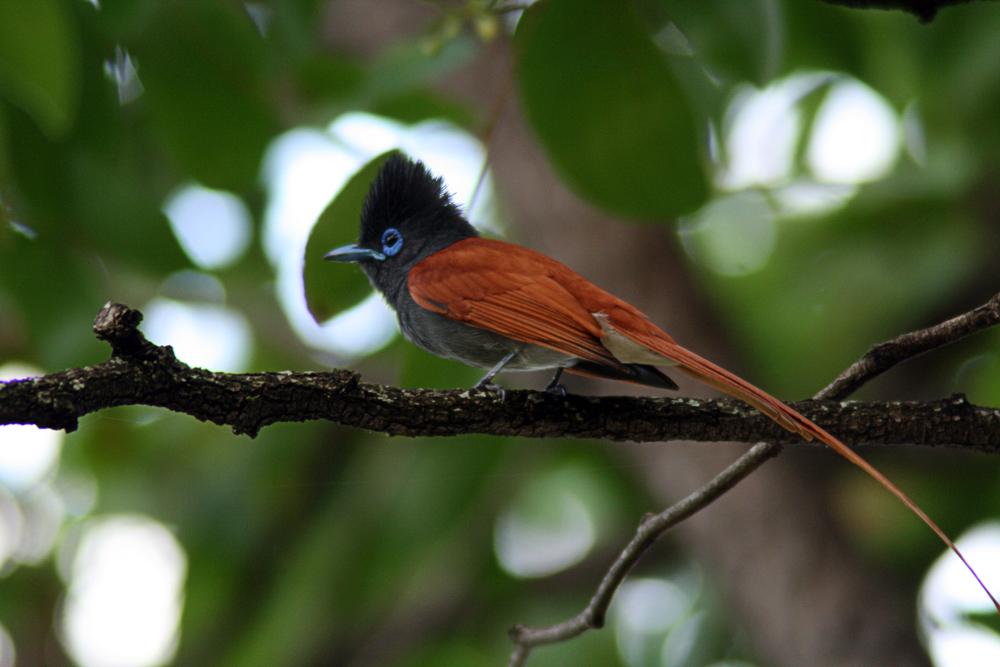 African-Paradise-Flycatcher
