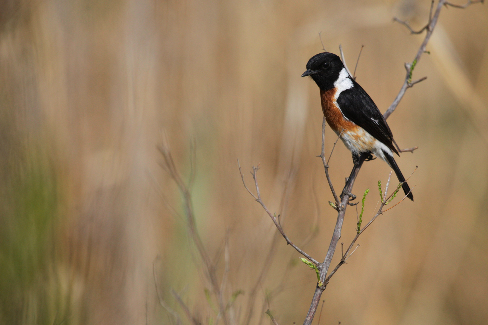 African Stonechat (M)