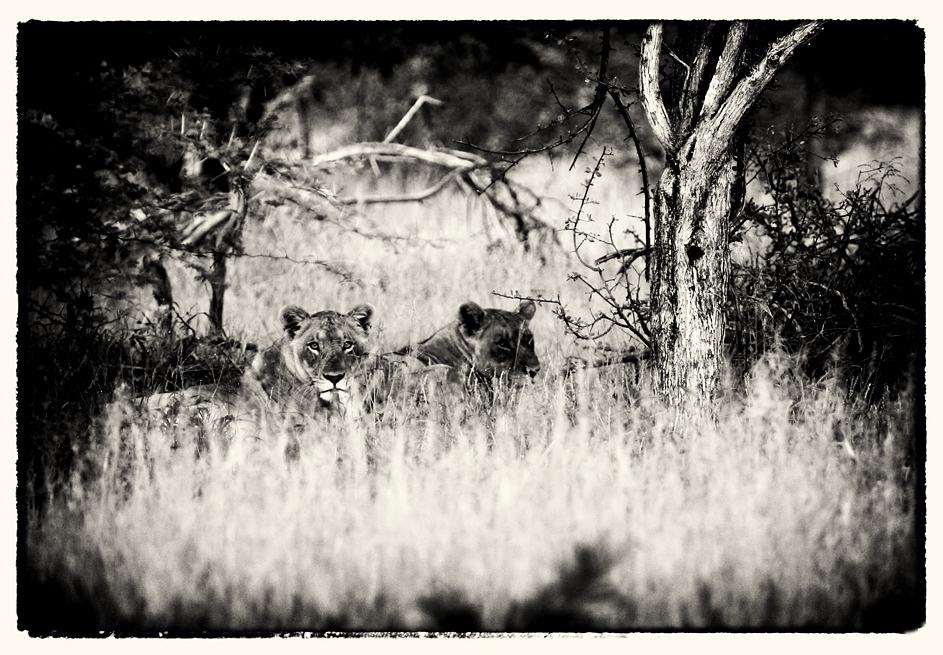african wildlife XI