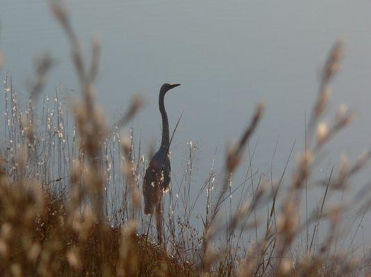 Afrika, Blue Heron im Morgenlicht