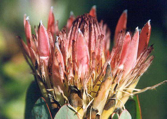 Afrikanische Blume