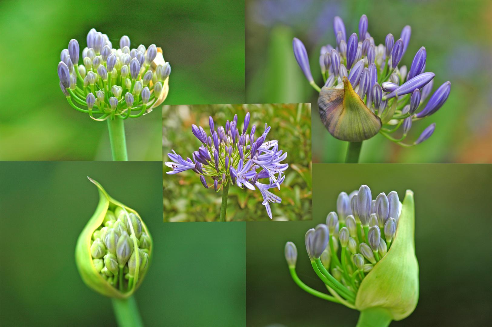afrikanische Lilie