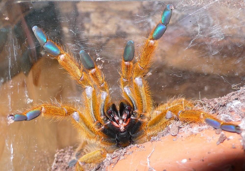 Afrikanische Spinne (Pterinochilus murinus)