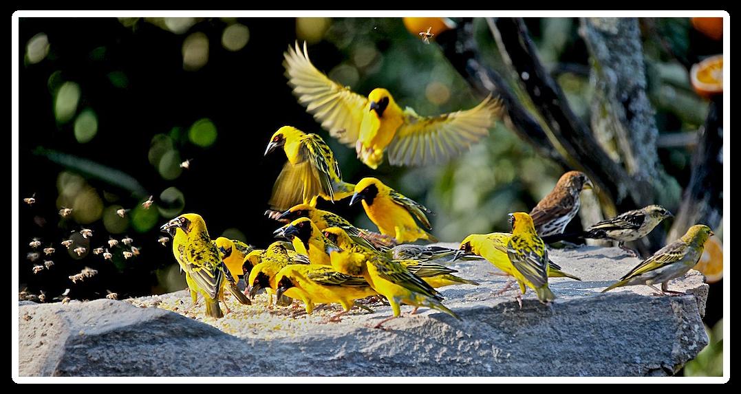 Afrikanische Webervögel