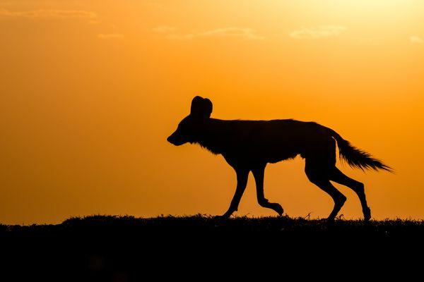 Afrikanische Wildhunde-4