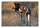 Afrikanische Wildhunde...