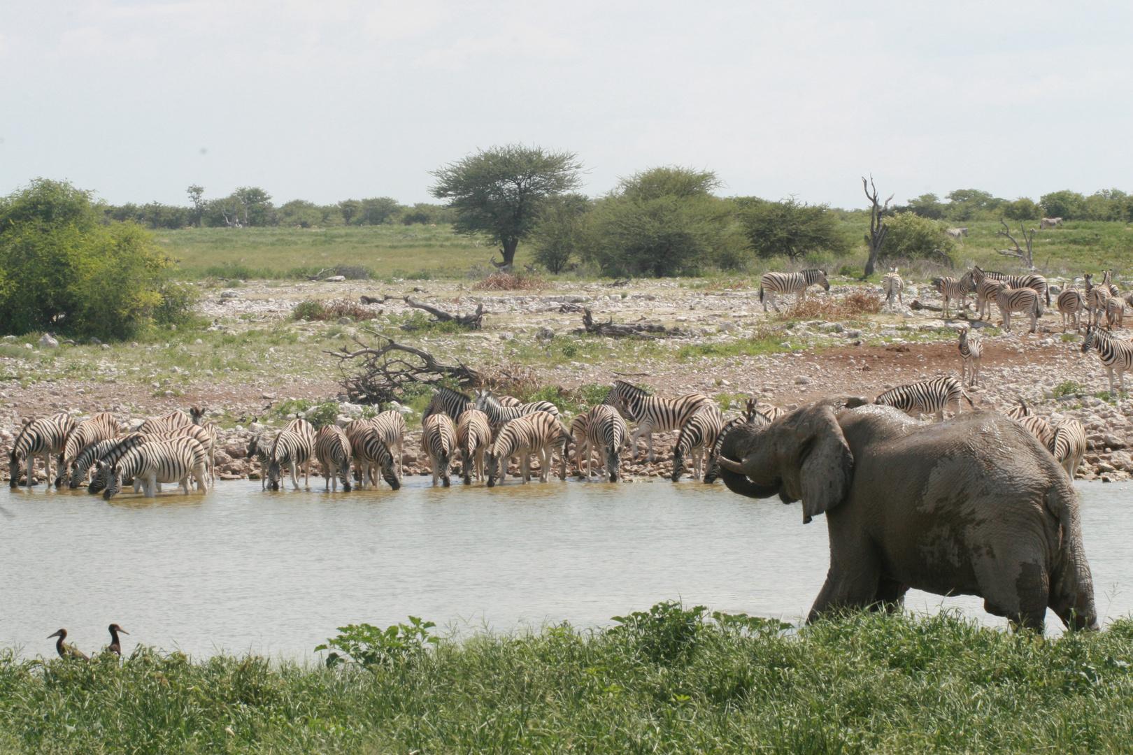 Afrikanischer Elefant und Steppenzebras
