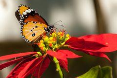 Afrikanischer Monarch (Danaus chrysippus)