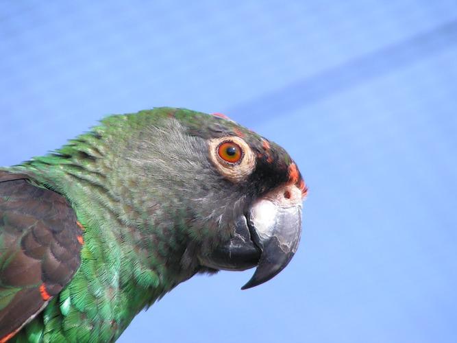 Afrikanischer Papagei