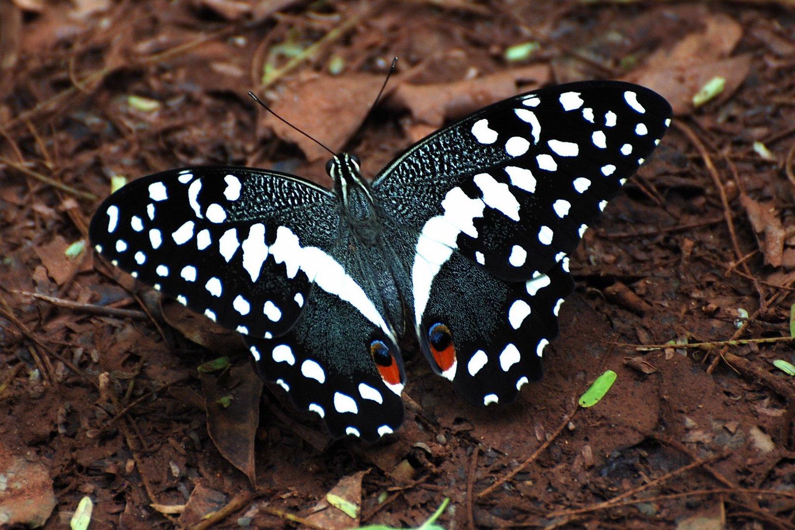 Afrikanischer Schmetterling