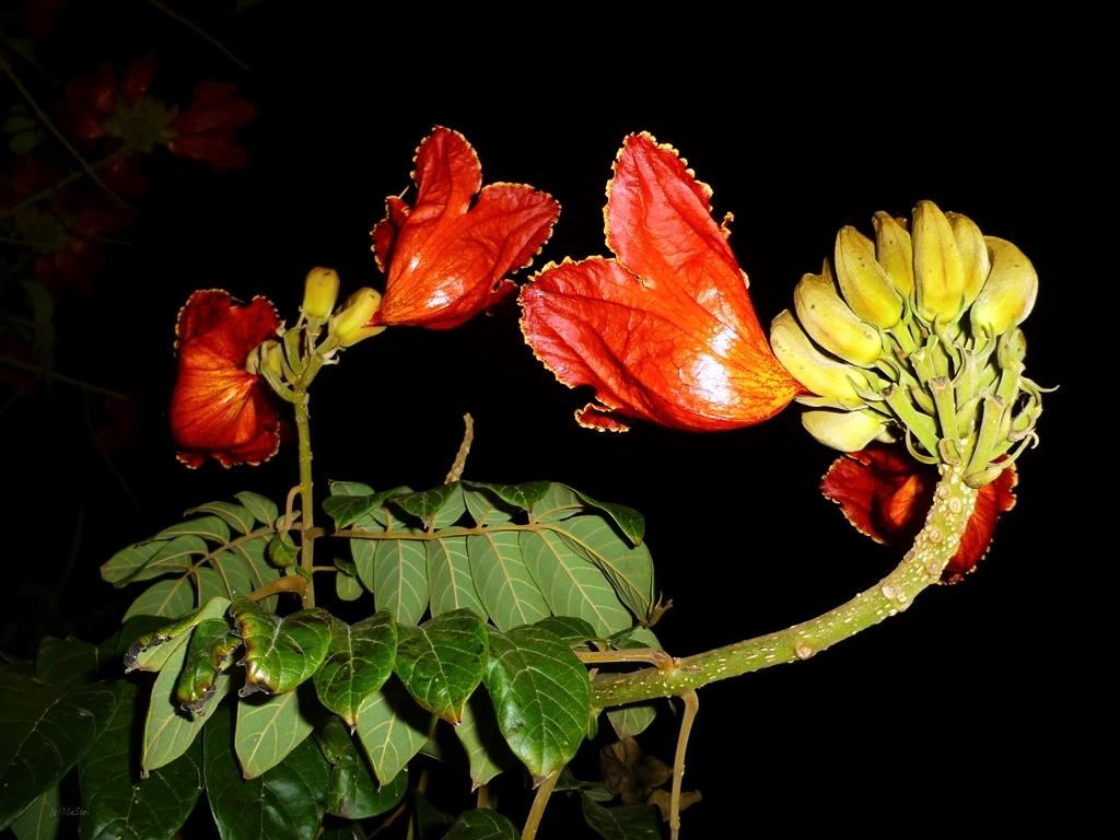 Afrikanischer Tulpenbaum auf LANZAROTE
