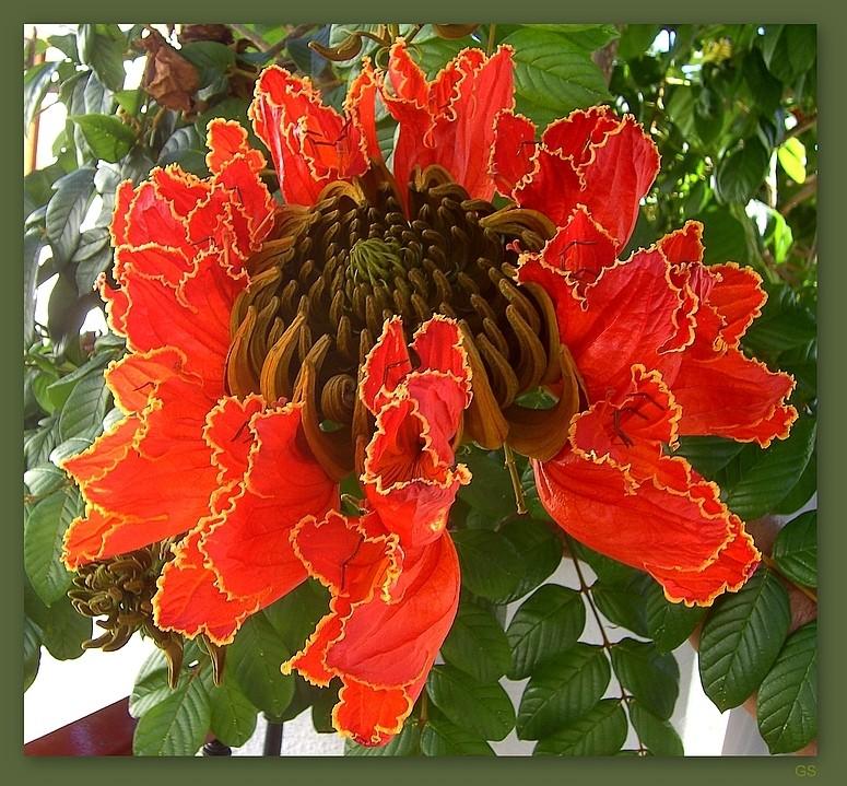 afrikanischer tulpenbaum spathodea campanulata foto bild pflanzen pilze flechten. Black Bedroom Furniture Sets. Home Design Ideas