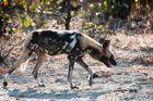 Afrikanischer Wildhund 2/ North Luangwa NP / Sambia / 06.2013