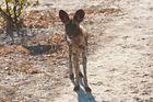 Afrikanischer Wildhund 3/ North Luangwa NP / Sambia / 06.2013