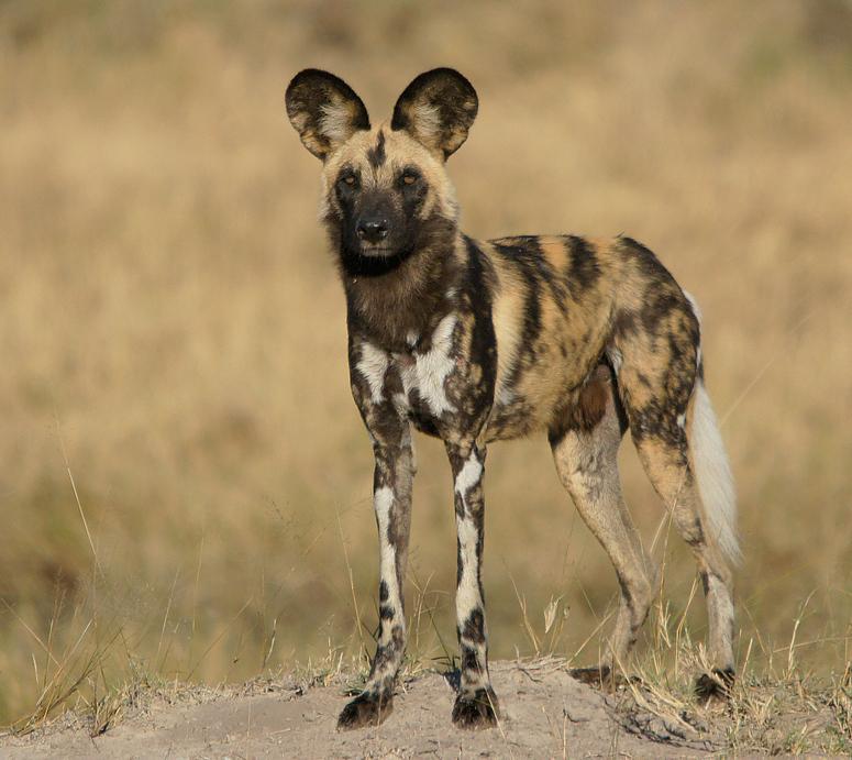 Afrikanischer Wildhund Foto & Bild | tiere, wildlife ...