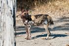 Afrikanischer Wildhund / North Luangwa NP / Sambia / 06.2013