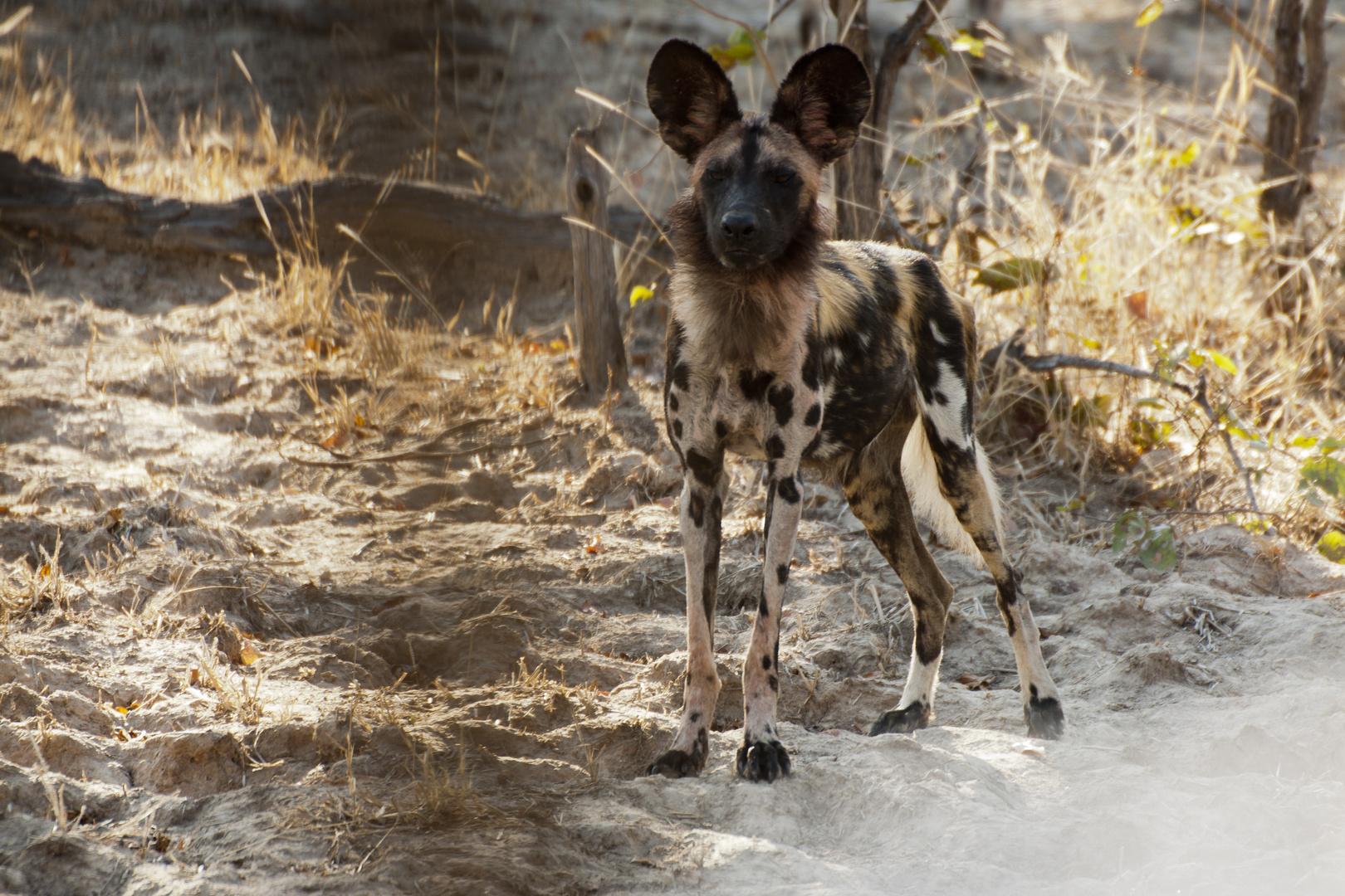 Afrikanischer Wildhund / Sambia / North Lunagwa / 15.06.2013