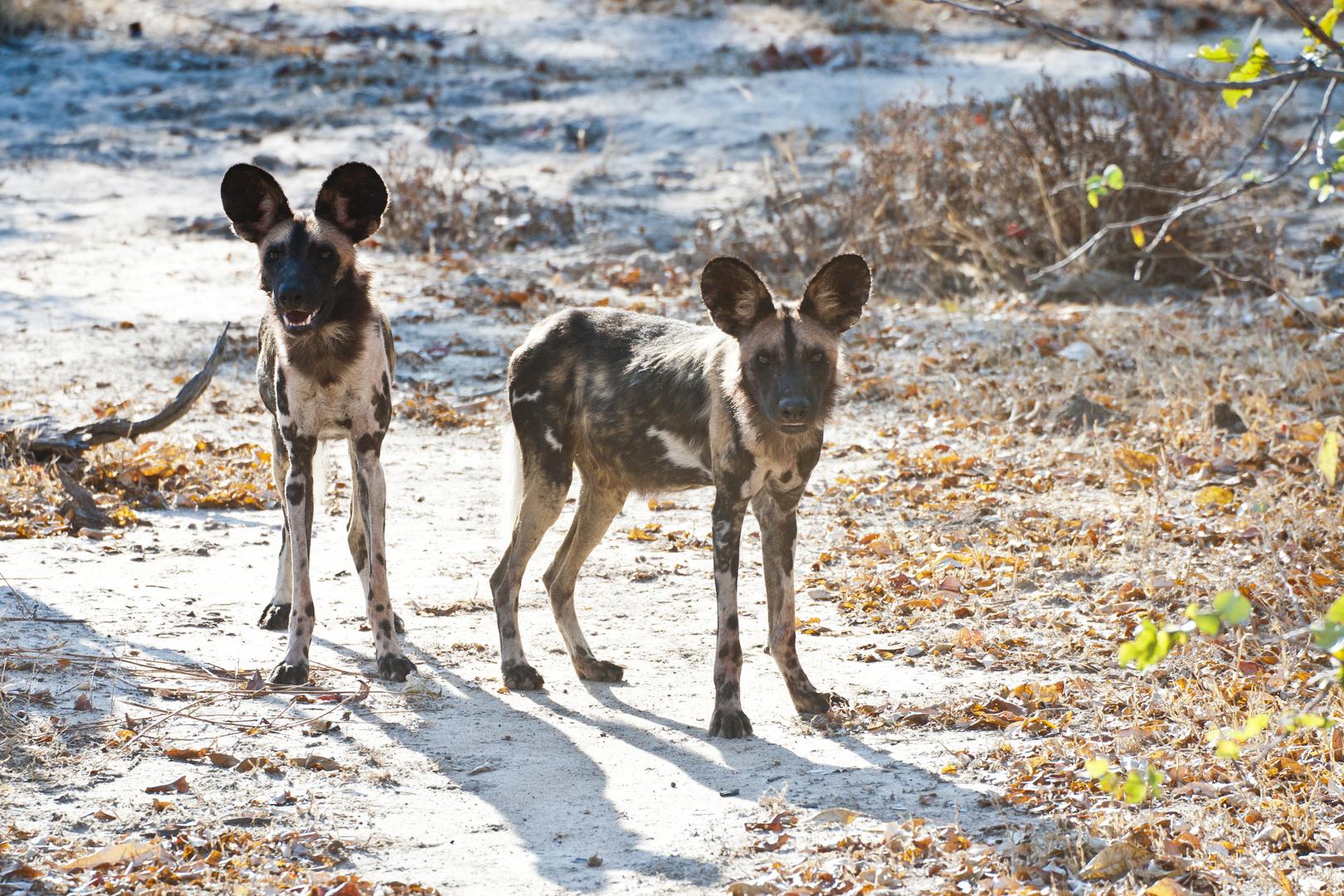 Afrikanischer Wildhunde / North Luangwa NP / Sambia / 06.2013