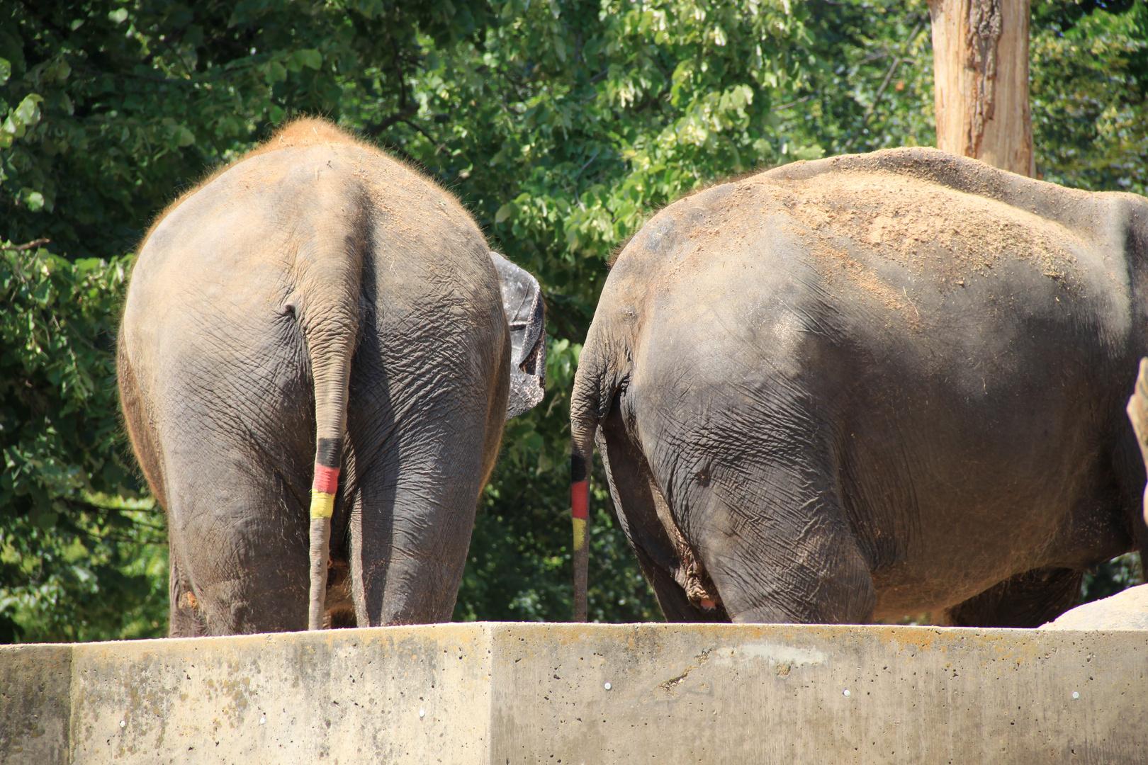 Afrikas Elefanten im Fußballfieber