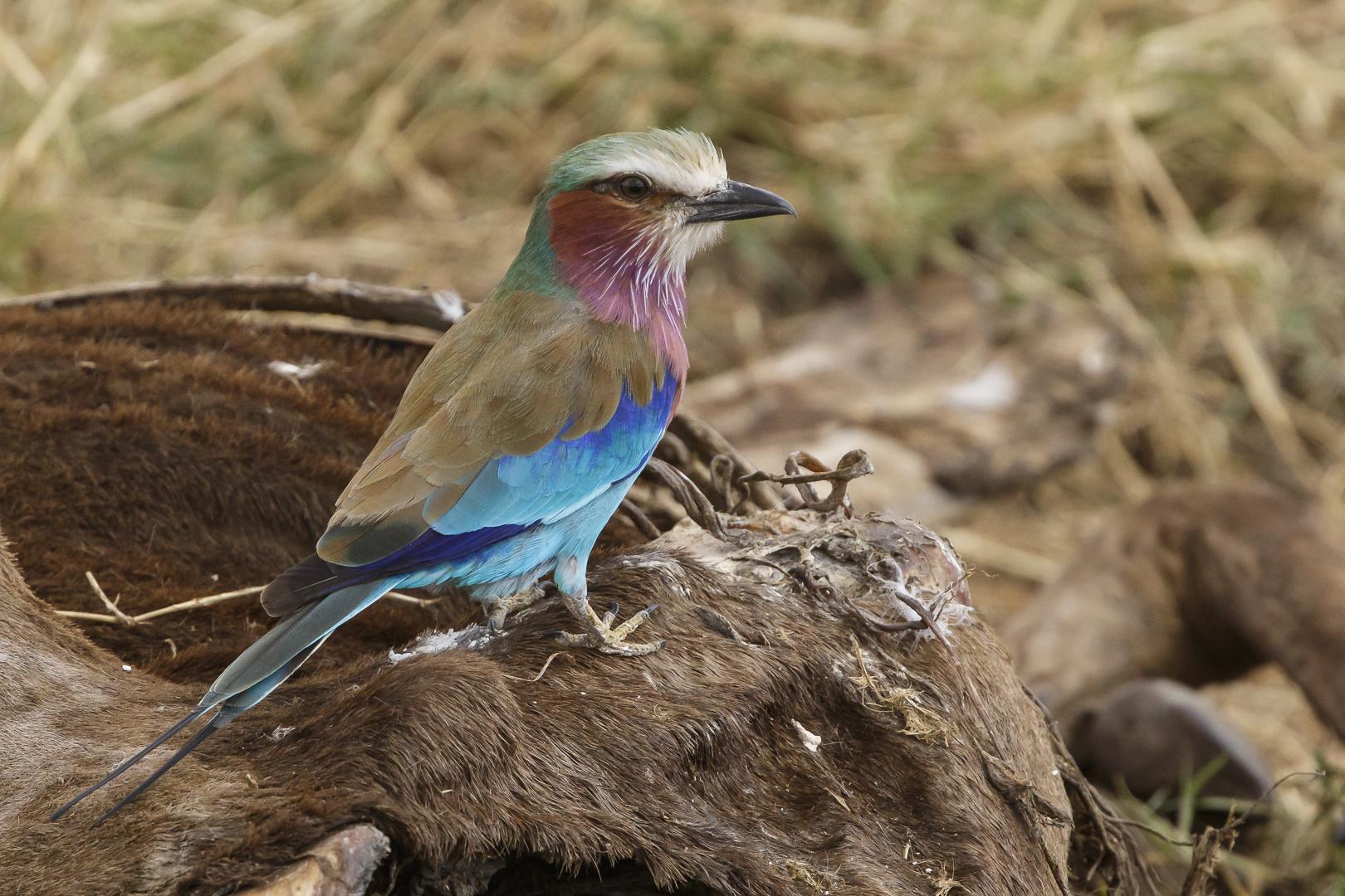 Afrikas Vogelwelt 7 - Gabelracke