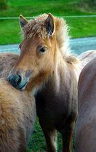 """""""Afro""""-Pony"""