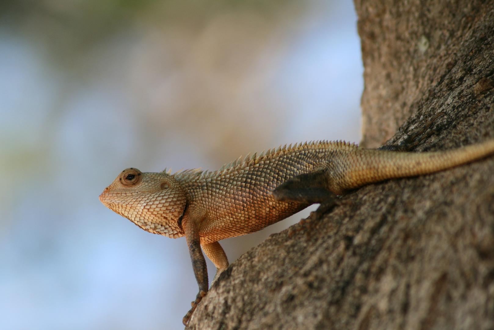 Agame Südafrika