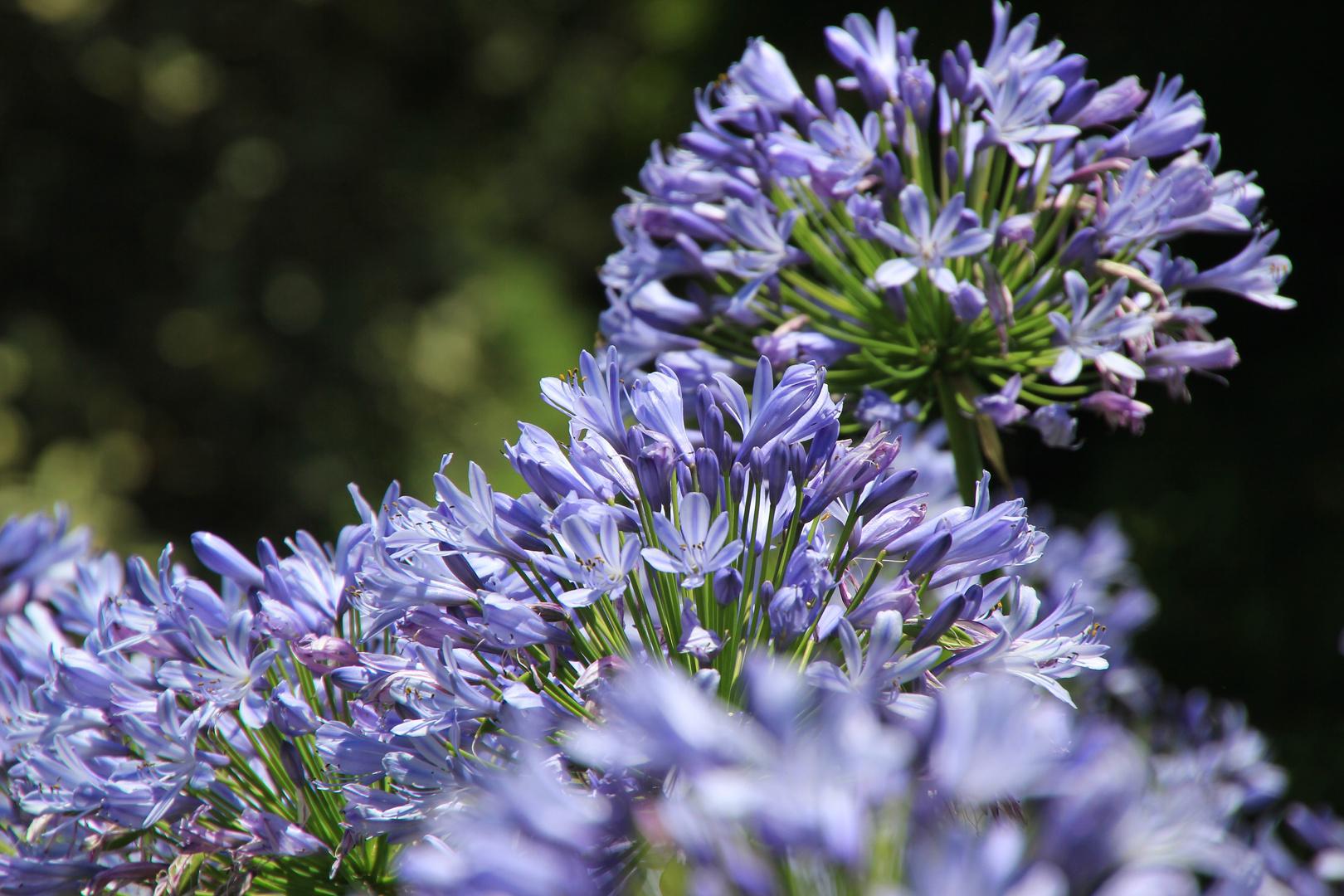 Agapanthus violett