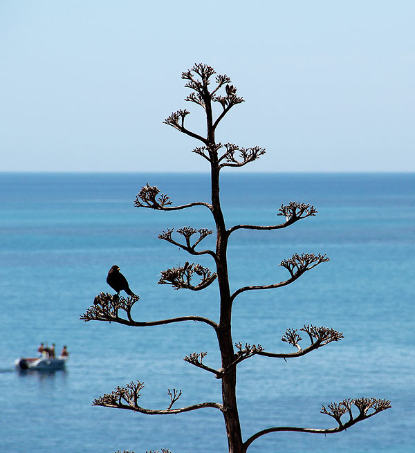 Agave am Meer