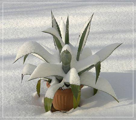 Agave im Schnee