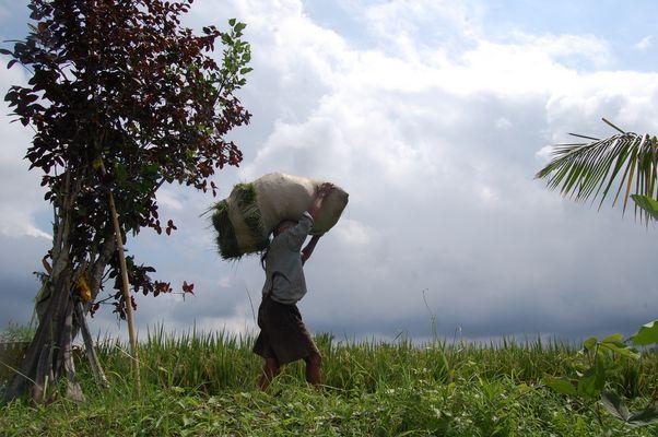 agriculteur à bali