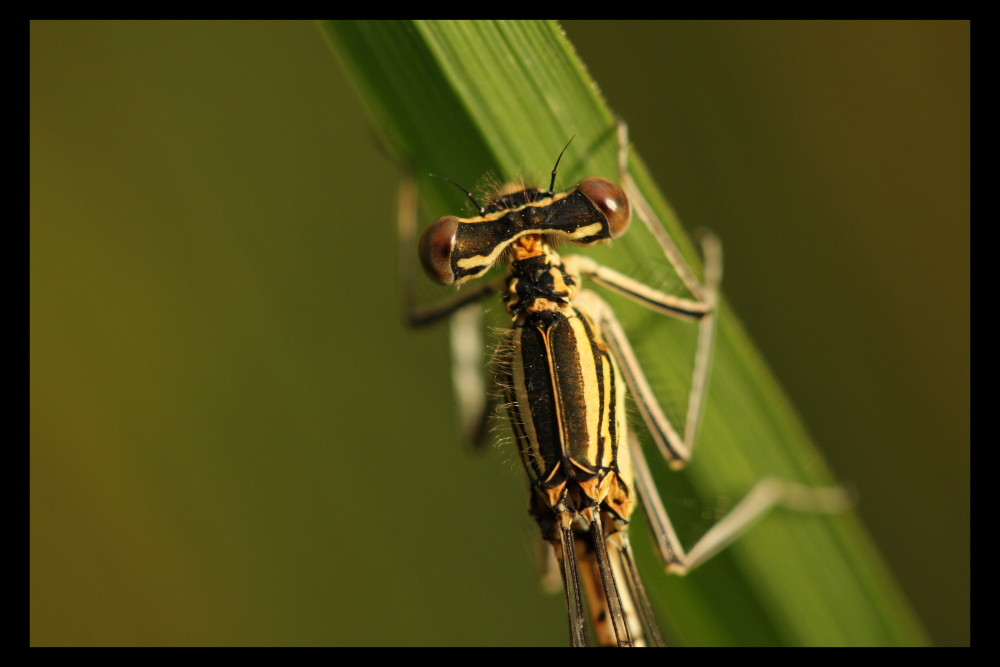 Agrion (2)