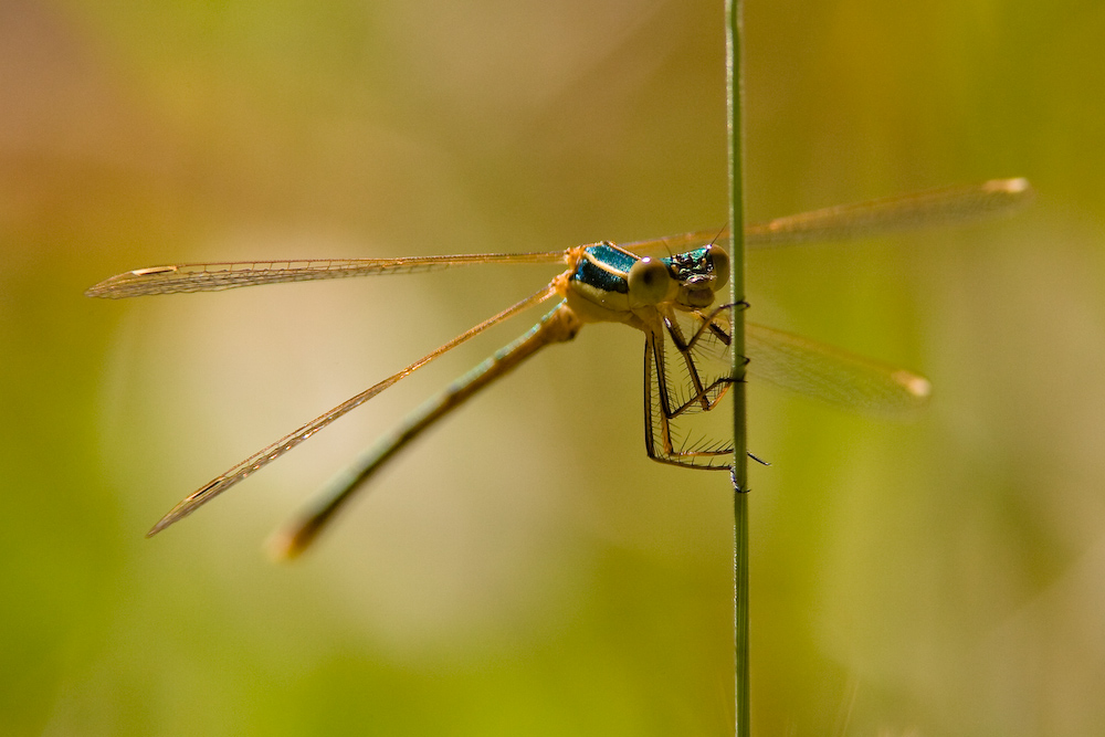 Agrion ...