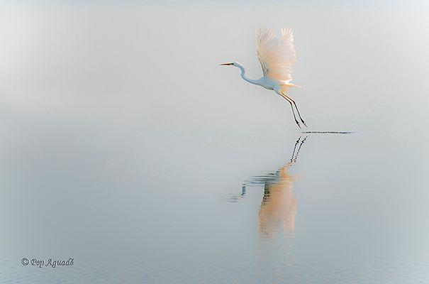 Agró blanc - Egretta alba - Garceta grande