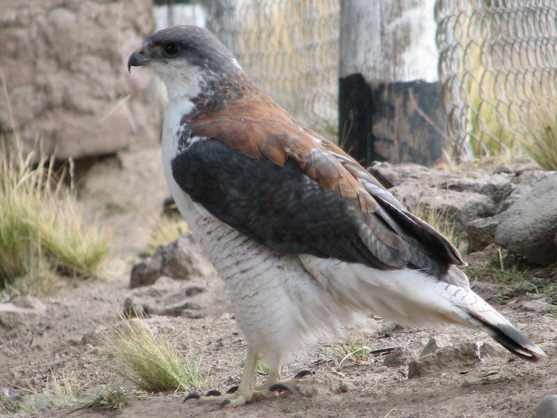 Aguila andina