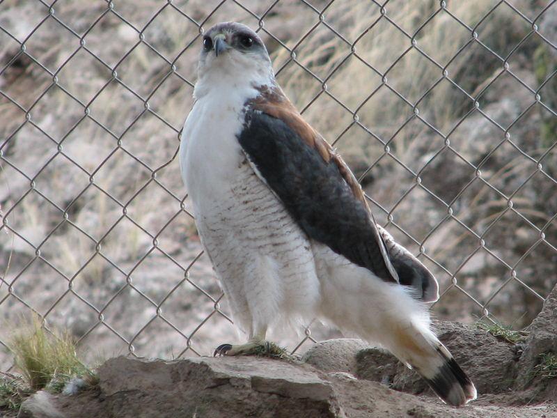 Aguila andina_2