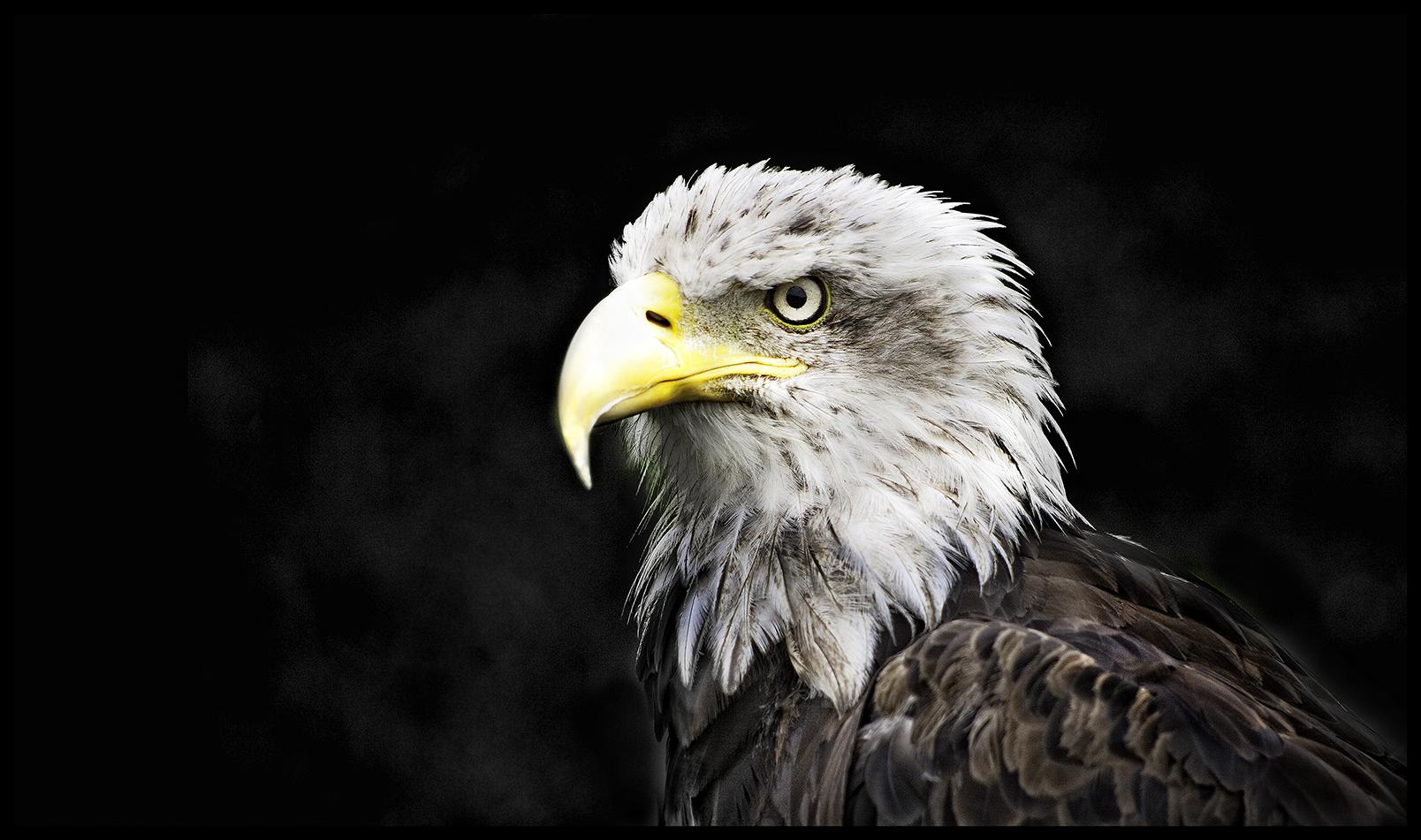 Aguila calva