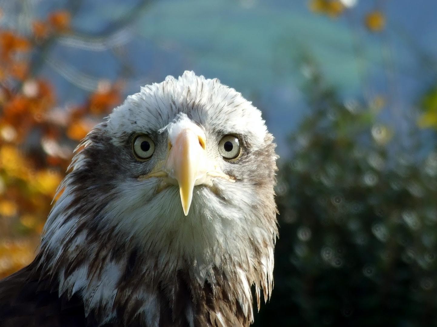 Aguila calva (Pigargo americano)