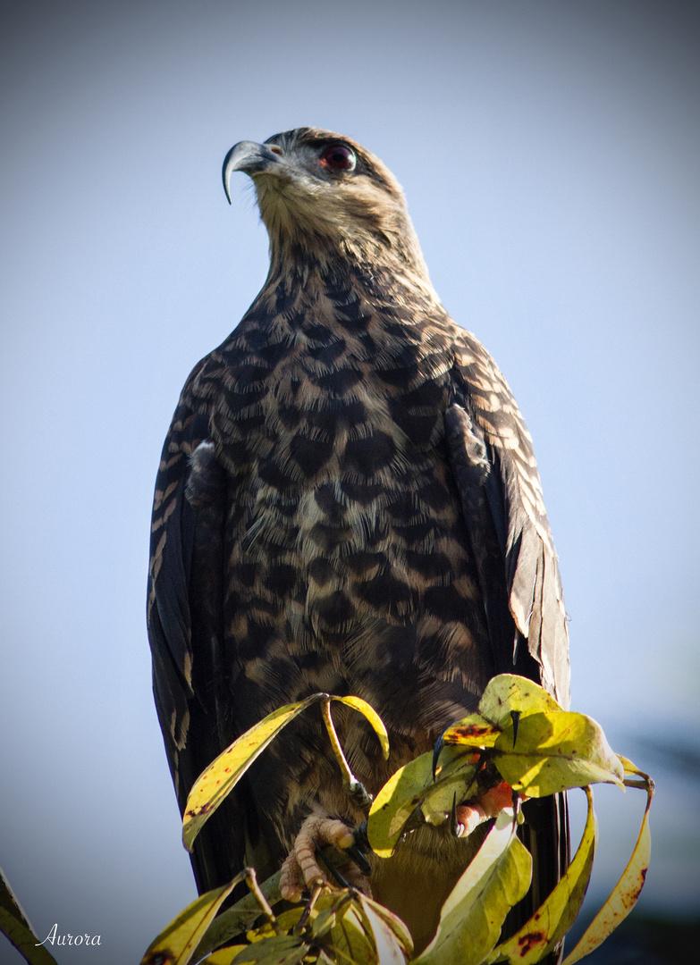 Aguila Caracolera