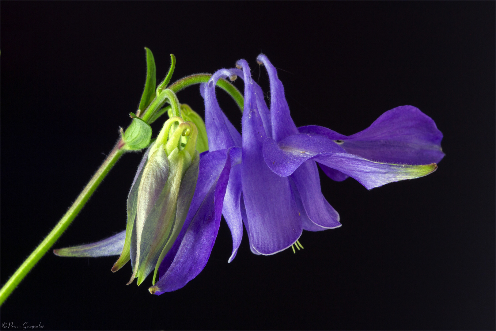 Aguilegia vulgaris - Gemeine Akelei