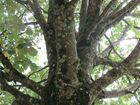 ah gros le arbre