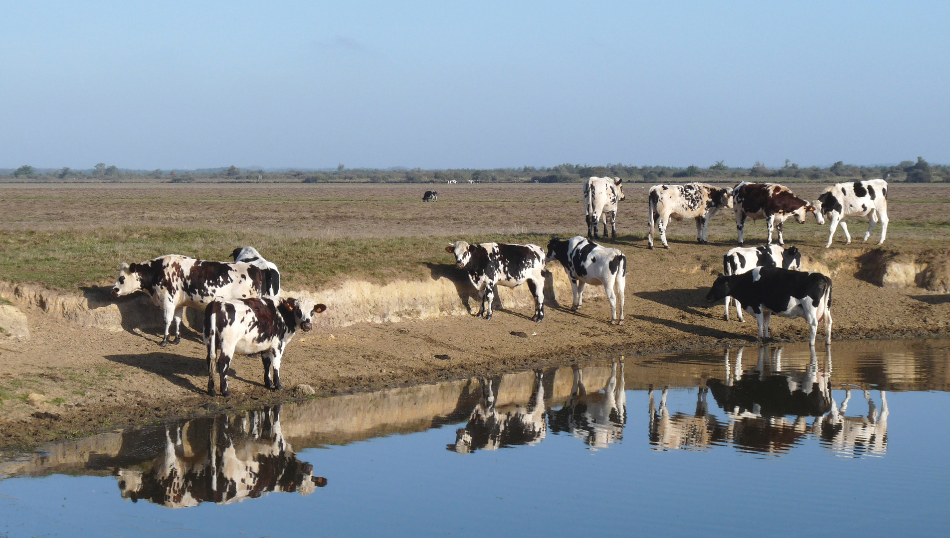 Ah les vaches !