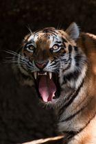 Ahimsa zeigt Zähne