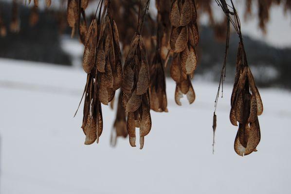 Ahörner im Schnee
