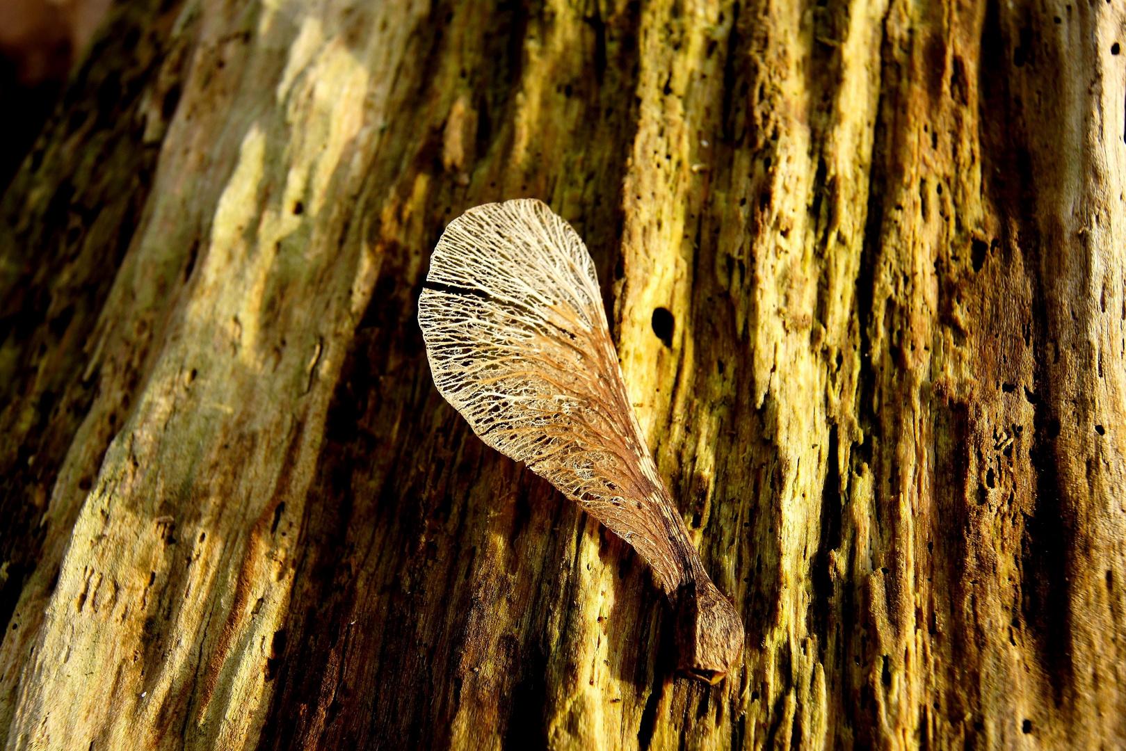 Ahorn-Engels-Flügel