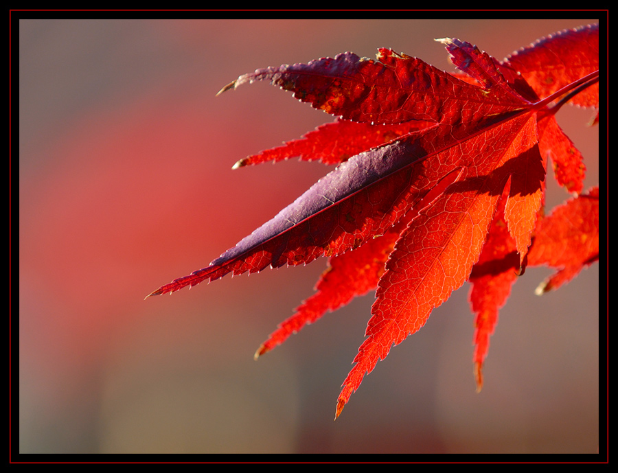 Ahorn-Herbstfeuer